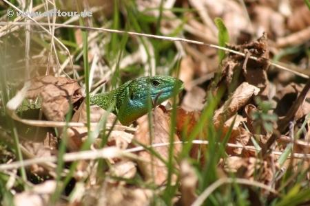 Smaragdeidechse, Lacerta bilineata