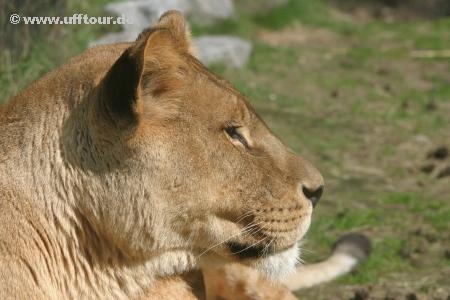 Safari-Park Löwe