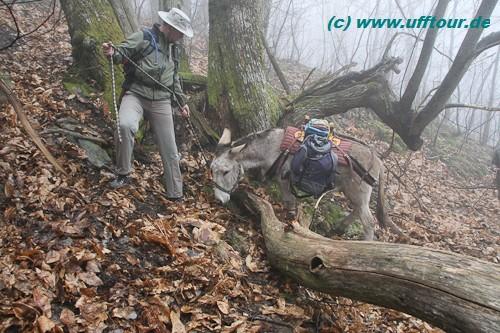 Eselswanderung - Baum im Weg