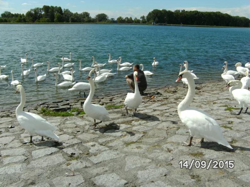 """""""stolze Schwäne"""" am Rhein"""