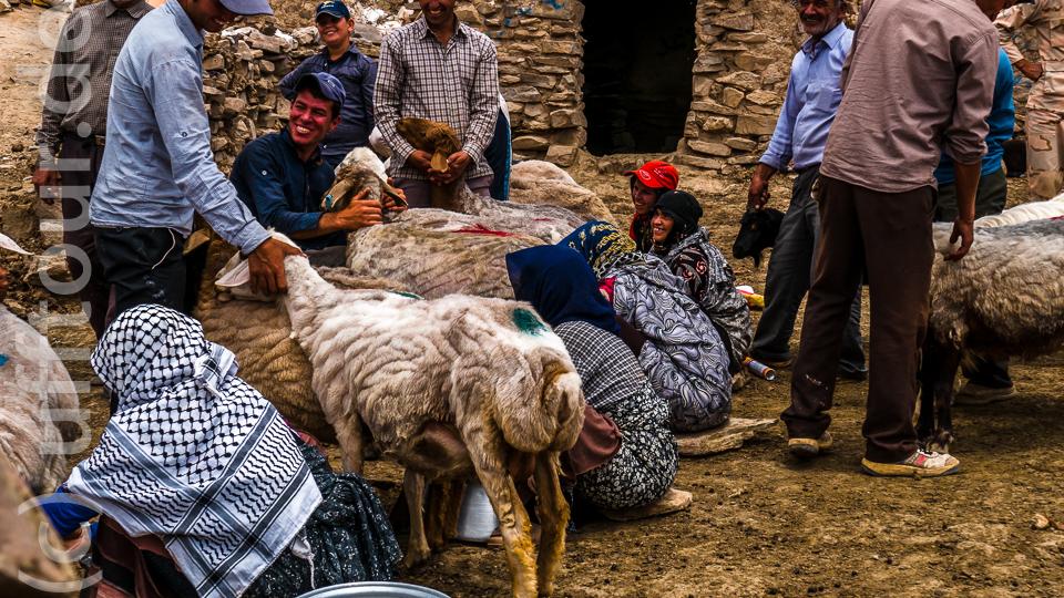 Klare Arbeitsteilung: Die Männer halten die Tiere fest, die Frauen melken.